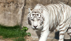 White Bengal Tiger. Moscow zoo. Russia Stock Photo