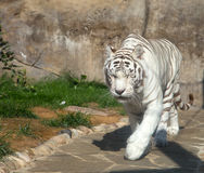White Bengal Tiger. Moscow zoo. Russia Stock Image