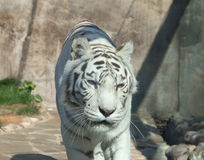 White Bengal Tiger. Moscow zoo. Russia Royalty Free Stock Photography