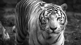 The White Bengal tiger Panthera tigris bengalensis, or bleached tiger, in the zoo.  royalty free stock photography