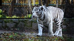 The White Bengal tiger Panthera tigris bengalensis, or bleached tiger, in the zoo.  stock image