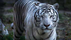 The White Bengal tiger Panthera tigris bengalensis, or bleached tiger, in the zoo.  stock images