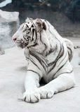 White bengal tiger. (Panthera tigris) in captive environment Royalty Free Stock Photos