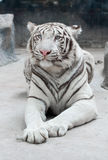White bengal tiger. (Panthera tigris) in captive environment Royalty Free Stock Images