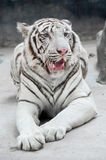 White bengal tiger. (Panthera tigris) in captive environment Stock Photos