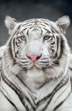 White bengal tiger. (Panthera tigris) in captive environment Stock Images