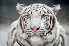 White bengal tiger. (Panthera tigris) in captive environment Royalty Free Stock Photography