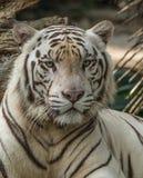 White Bengal tiger (Panthera tigris tigris) with blue eyes staring at camera Stock Images