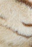 White bengal Tiger pattern Stock Photos