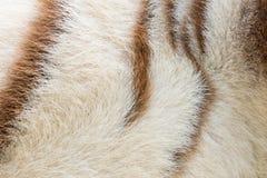 White bengal Tiger pattern Royalty Free Stock Photo