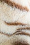 White bengal Tiger pattern Stock Image