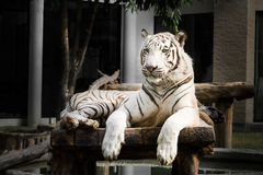 White bengal tiger Royalty Free Stock Image