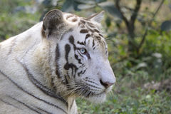 White Bengal Tiger. Portrait Of A White Bengal Tiger at Nandankanan Orissa India Stock Photo