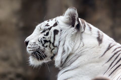 White Bengal tiger Stock Photos