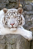 White Bengal tiger. Rare tiger albino in the open-air cage of the Moscow zoo Stock Images