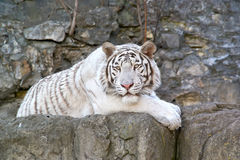 White Bengal tiger. Rare tiger albino in the open-air cage of the Moscow zoo Royalty Free Stock Photos