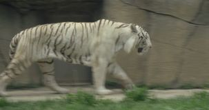 A white Bengal tiger. Rare Black and White Striped Adult Tiger stock video