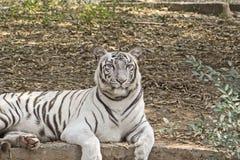 White bengal tiger Royalty Free Stock Photo