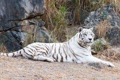 White bengal tiger Stock Photos
