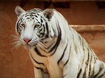 White Bengal Tiger at Renfest. Beautiful White Bengal Tiger, patiently awaiting its turn attention. Taken at an area Ren-Fest in Colorado. Her name was Banshee Stock Images