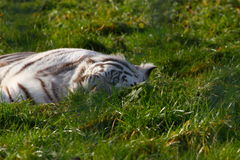 White bengal tiger at rest Royalty Free Stock Photos