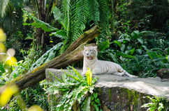 White bengal tiger resting. In the tropical forest Royalty Free Stock Photography