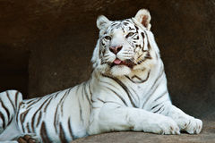 White Bengal tiger resting on a rock Royalty Free Stock Images