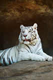White Bengal tiger resting on a rock Royalty Free Stock Photos