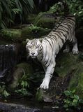White Bengal tiger on river bank Royalty Free Stock Images