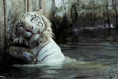 White bengal tiger scratching Stock Image