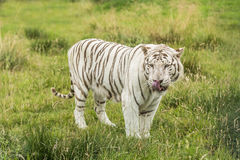White Bengal tiger. Standing in the grass Stock Photography