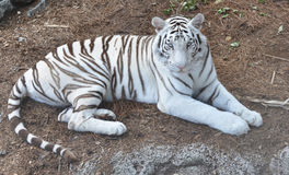 A White Bengal Tiger staring. At the camera Stock Images