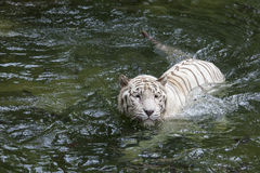 White Bengal Tiger Swimming Stock Photo
