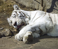 White bengal tiger symbol  predator mammal Stock Photo