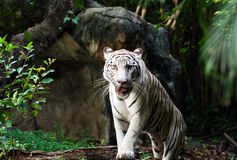 White bengal tiger walking Royalty Free Stock Image
