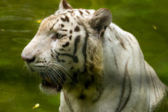 White Tiger. White bengal tiger in the zoo Royalty Free Stock Image