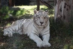 White bengal tiger in the zoo stock images