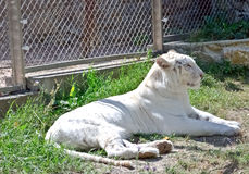 White Bengal tiger by the zoo cage fence Royalty Free Stock Photography