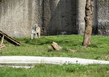 White Bengal tiger in a zoo looking at people inChatver Zoo Chandigarh royalty free stock photo