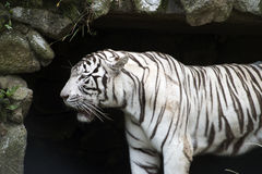 White Bengal tiger in the zoo. SAO PAULO, SP, BRAZIL - DECEMBER 26, 2015 - Bengal tiger, Panthera tigris tigris, largest feline the world originating in Asia Royalty Free Stock Photos