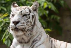 White bengalensis tiger close up portrait. White bengalensis tiger animal close up portrait royalty free stock photo