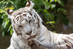 White bengalensis tiger close up portrait licking paw.  stock photography