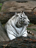 White bengalese tiger. The white bengalese tiger who is having a rest after a dinner Royalty Free Stock Image
