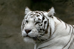 White bengalese tiger. The white bengalese tiger looking afar on a dark rocky background Royalty Free Stock Image