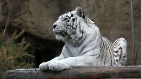 White Bengalese tiger stock video