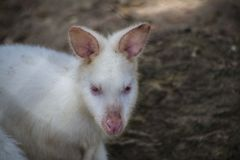 White Bennett`s Wallaby , Albino Wallaby / Albino Wallabies stock images