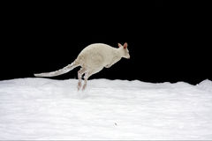 A white Bennett wallaby (Macropus rufogriseus) in. An albino Bennett's wallaby jumps in the snow isolated Royalty Free Stock Photos