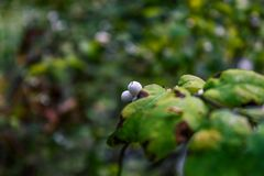 White berries behind leaves. White berries on the back of a wild berry branch Royalty Free Stock Photo