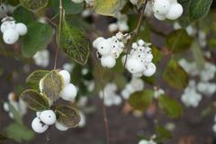 White berries on branches of Symphoricarpos albus. In autumn Stock Image