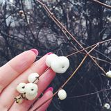 White berries in December with hand Royalty Free Stock Image